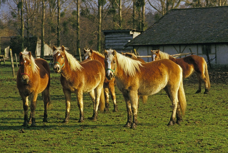 haflinger_auf (c) picture-alliance_Anka_Agency_International